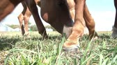 horse face : A group of horses eat grass together in the sunlight, shot from ground level. Stock Footage