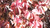 se movendo para cima : Red leaves of fall move with the wind in brilliant bright sunlight. Vídeos