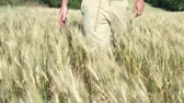 wispy : Man walks in wheat field on sunny afternoon running hand across slowly. Stock Footage
