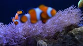 анемон : Underwater coral reef and fishes in home aquarium