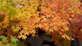 рамка : Autumn yellow maple leaves in the wind Стоковые видеозаписи