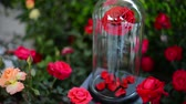 vertical : Red rose flowers in glass dome Stock Footage