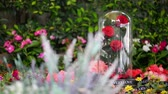 прочный : Rose in glass dome stay on the garden