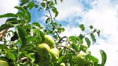 malus : green apples on tree, in blue sky beautiful white cumulus (clouds), time-lapse