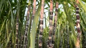 field : Sugar Cane Plantation