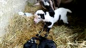 забавный : Tibetan goat mom with her three puppies