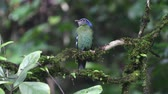 obyvatel : Green Cochoa rare bird in Thailand and Southeast asia.