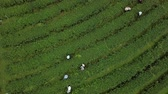 step by step : Aerial view green Tea plantation and the farmers in Thailand.