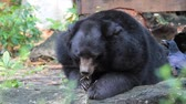 savec : Black Bear Eating Leaves