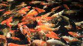 alimentation animale : poissons de Koi, carpe fantaisie, cyprinus carpio linn