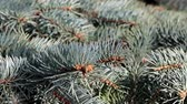 decorativo : young shoots of green sprouts on old spruce