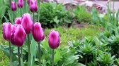 broto : delicate purple flowers tulips