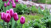 perennial : delicate purple flowers tulips