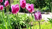 perennial : beautiful purple tulips