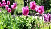 bloemstuk : beautiful purple tulips
