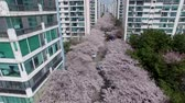 kiraz ağacı : Spring of Namcheondong Cherry Blossom Street , Gwangalli,Busan, South Korea,Asia when Mar-30-2018 Stok Video