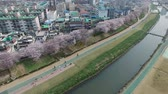 после полудня : Cherry Blossom Blooming Spring of Oncheoncheon Citizen Park, Dongraegu, Yeonjegu, Busan, South Korea, Asia when Mar-29-2018