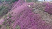 sightseeing : Cheonjusan Mountain Jindallae Azalea Flower Blooming , Changwon, Gyeongsangnamdo, South Korea, Asia when Apr-11-2018
