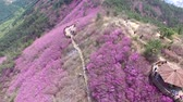 sightseeing : Cheonjusan Mountain Jindallae Azalea Flower Blooming, Changwon, Gyeongsangnamdo, South Korea, Asia when Apr-11-2018 Stock Footage