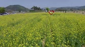 рапсовое : Yuchae Canola Flower Blooming in Gimhae Railbike, Gimhae, South Korea, Asia when Apr-19-2018