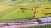 Aerial View of Cosmos Road and Rice Paddy Painting in Mujeom village, Changwon, Gyeongnam, South Korea, Asia Wideo