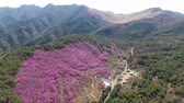 südkorea : Aerial View of Jindallae Azalea Blooming in Hwawangsan Mountain, Changnyeong