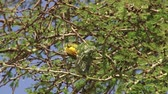 male animal : northern masked weaver weaving a nest Stock Footage