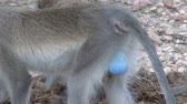 male animal : The blue balls or testickles of a vervet monkey Stock Footage