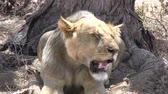 male animal : lion panting in the shade of an acacia tree Stock Footage