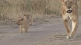 feminino : Lioness leads her cubs away