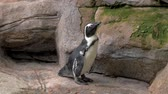 tučňák : Portrait of penguin standing on the rocks at the zoo .4K Dostupné videozáznamy