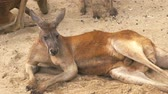 kanguru : Close-up of adult red kangaroo lying on the sand and resting at the zoo, 4K