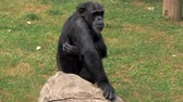 humorous : Portrait of young chimpanzee sitting on a rock and scratching himself at zoo