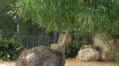 struś : Ostrich in the zoo. The long necked ostrich eating tree leaves