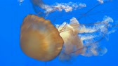 яд : Close-up of giant orange medusa jellyfish in aquarium, blue background Стоковые видеозаписи