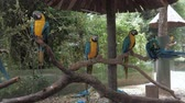 arara : Portrait of colorful Macaw parrots sitting on the tree branch at the zoo, blue-and-yellow macaw (lat. Ara ararauna) close-up