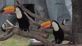 nicaragua : Toucans sitting on the branch at the zoo. Keel-billed Toucan, bird with big bill. Ramphastos sulfuratus Stock Footage