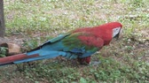 macaw parrot : Portrait of colorful Macaw parrot picking up food from the ground. Ara ararauna close-up Stock Footage