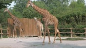 girafa : Giraffes are walking in zoo on sunny summer day