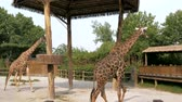 camelopardalis : Giraffes are walking in zoo on sunny summer day