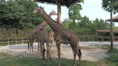 giraffe : Giraffes are walking in zoo on sunny summer day