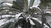 atmosférico : Close-up of small palm trees covered with snow during the snowfall in downtown Stock Footage