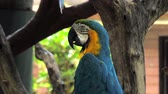 ара : Portrait of colorful Macaw parrot sitting on the tree branch against jungle background, blue-and-yellow macaw close-up Стоковые видеозаписи