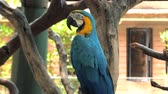 ара : Portrait of colorful Macaw parrot sitting on the tree branch, blue-and-yellow macaw close-up