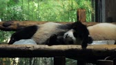 bear habitat : Giant Panda relax and sleep on wooden benches in public zoo on hot day