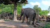 step by step : Happy young indian elephant dancing at zoo on sunny day