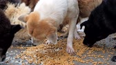 ladrão : Close-up of hungry dogs eating dry food from he floor in shelter. Stock Footage