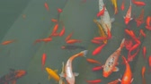 tavacska : Many colorful goldfish and Koi Carp are swimming in pond. Decorative fish in chinese water garden. Stock mozgókép