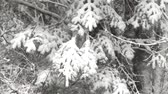 nevando : Video of the branches of a fir tree laden with snow swaying in the wind during a snowstorm.