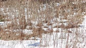 halott : Video of dried cattails that are gently moving from a breeze with snow on the ground in winter.